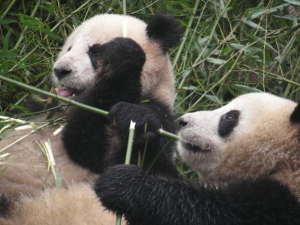 blog_chine_20160402_08h10m30_panda