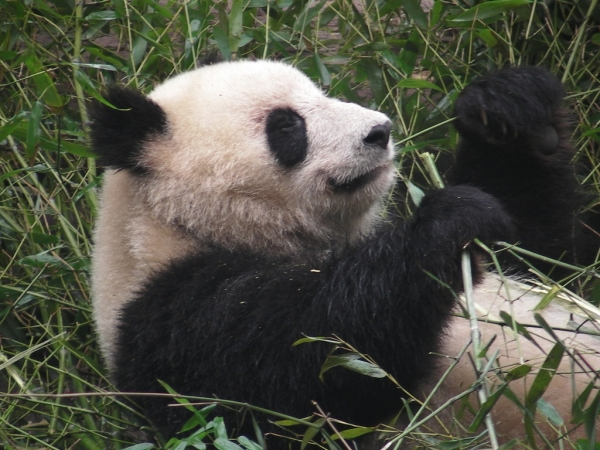 blog_chine_20160402_08h39m42_panda