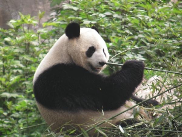 blog_chine_20160402_10h25m32_panda