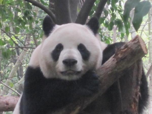 blog_chine_20160402_15h09m06_panda